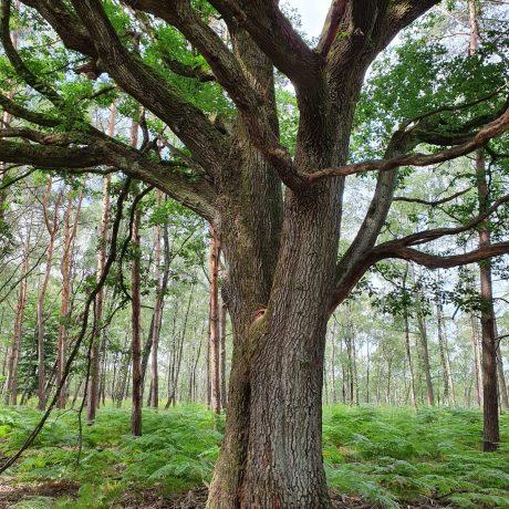 Baum_Bild_Samea